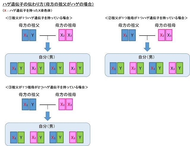 ハゲ遺伝子の伝わり方1
